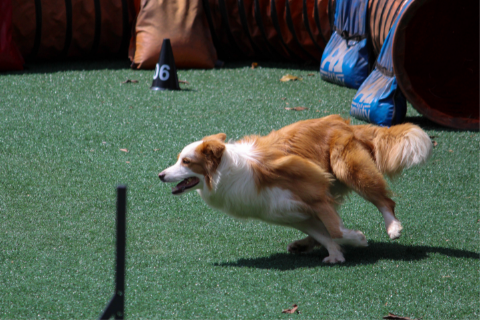Dog completing a competitive obstacle course with clicker training