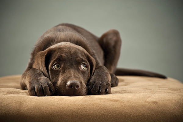 scared chocolate lab puppy waiting for owner to come home