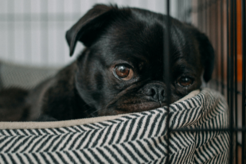 black pug lying in a soft stripped patterned dog bed placed in a dog crate