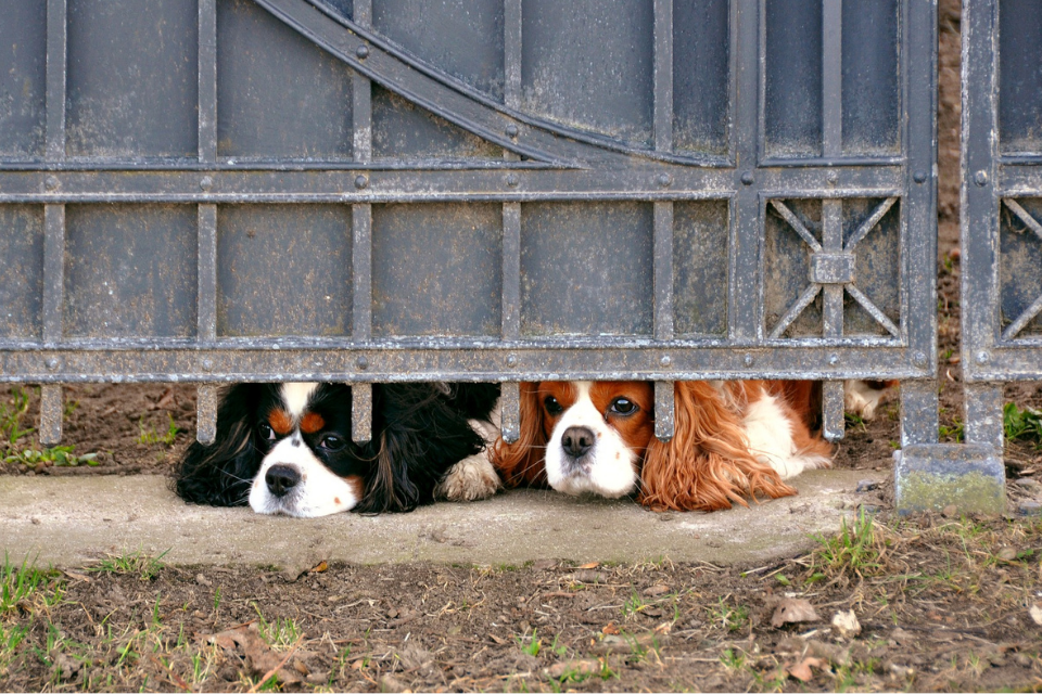 Two Cavalier King Charles Spaniel dogs peaking out under a metal home gate