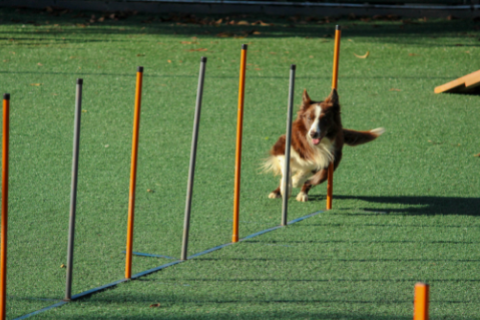 Dog training for an obstacle course with clicker training