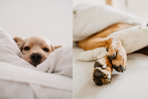 Two pictures of dogs sleeping on a soft white bed