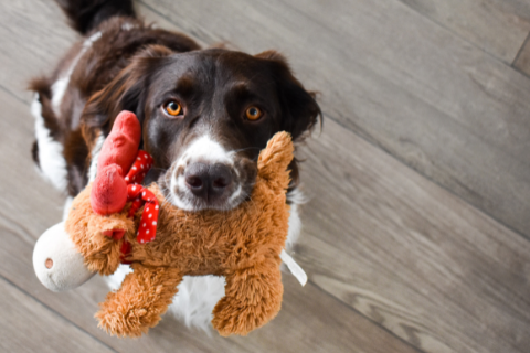 Black and white dog looking up while holding onto a fluffy moose stuff toy in its mouth