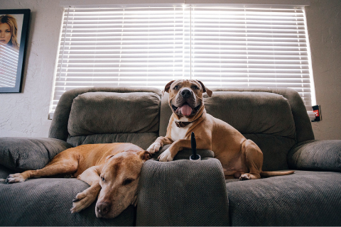 Two large dogs sitting on a grey couch