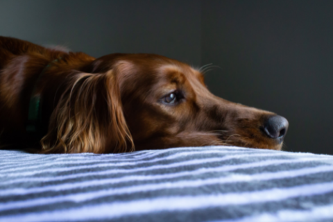 Visible symptom that your dog is experiencing anxiety includes restlessness