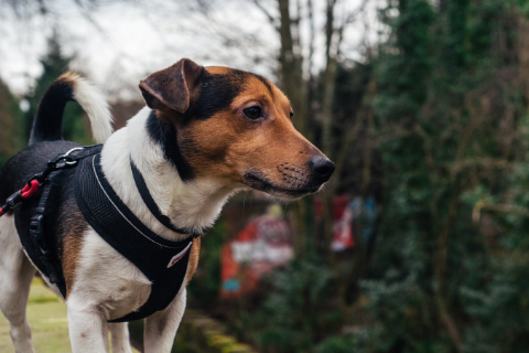 Jack Russell Terrier in a black and red harness