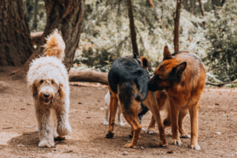 Three dogs in a forest, two dogs sniffing each other's butt