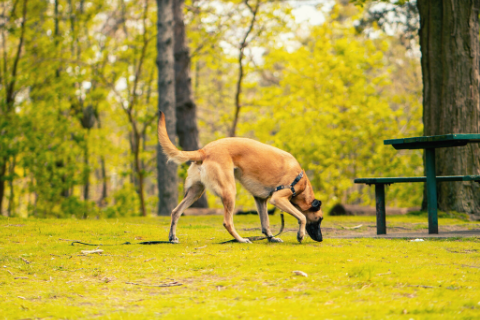 German Shepard dog sniffing around at a park