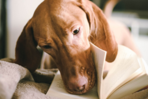 Brown dog sniffing a book
