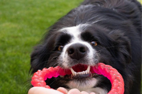 Black and white dog playing tug-a-war with  humans with a red chew toy
