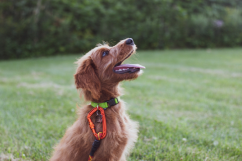 Fluffy brown dog with a neon collar sitting nicely for a reward