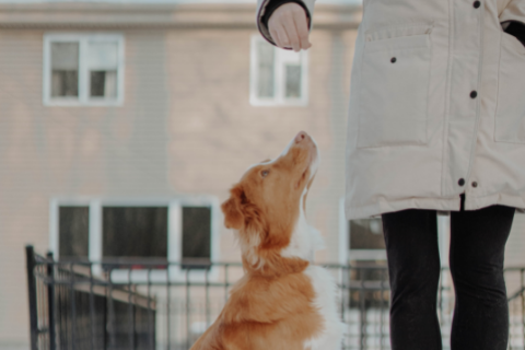 Dog looking up at owner in hopes to receive a treat