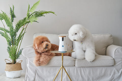 Two poodles lying on a cream colored couch looking at the Furbo Dog Camera placed on a small wooden table