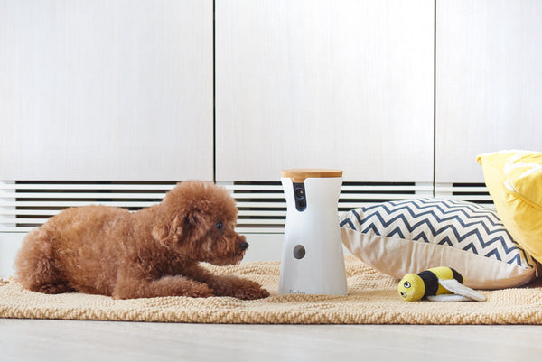 Toy Poodle talking to his mom through Furbo Dog Camera