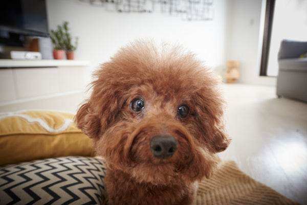 toy-poodle-look-into-camera