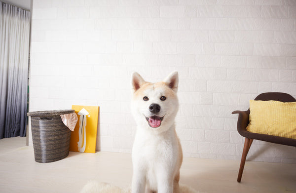 Akita dog smiling at the camera