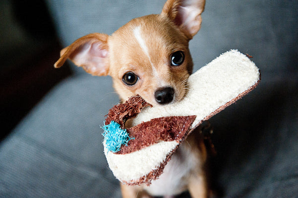puppy holding slipper in the mouth