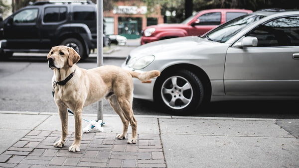 Dog on the street with a car beside
