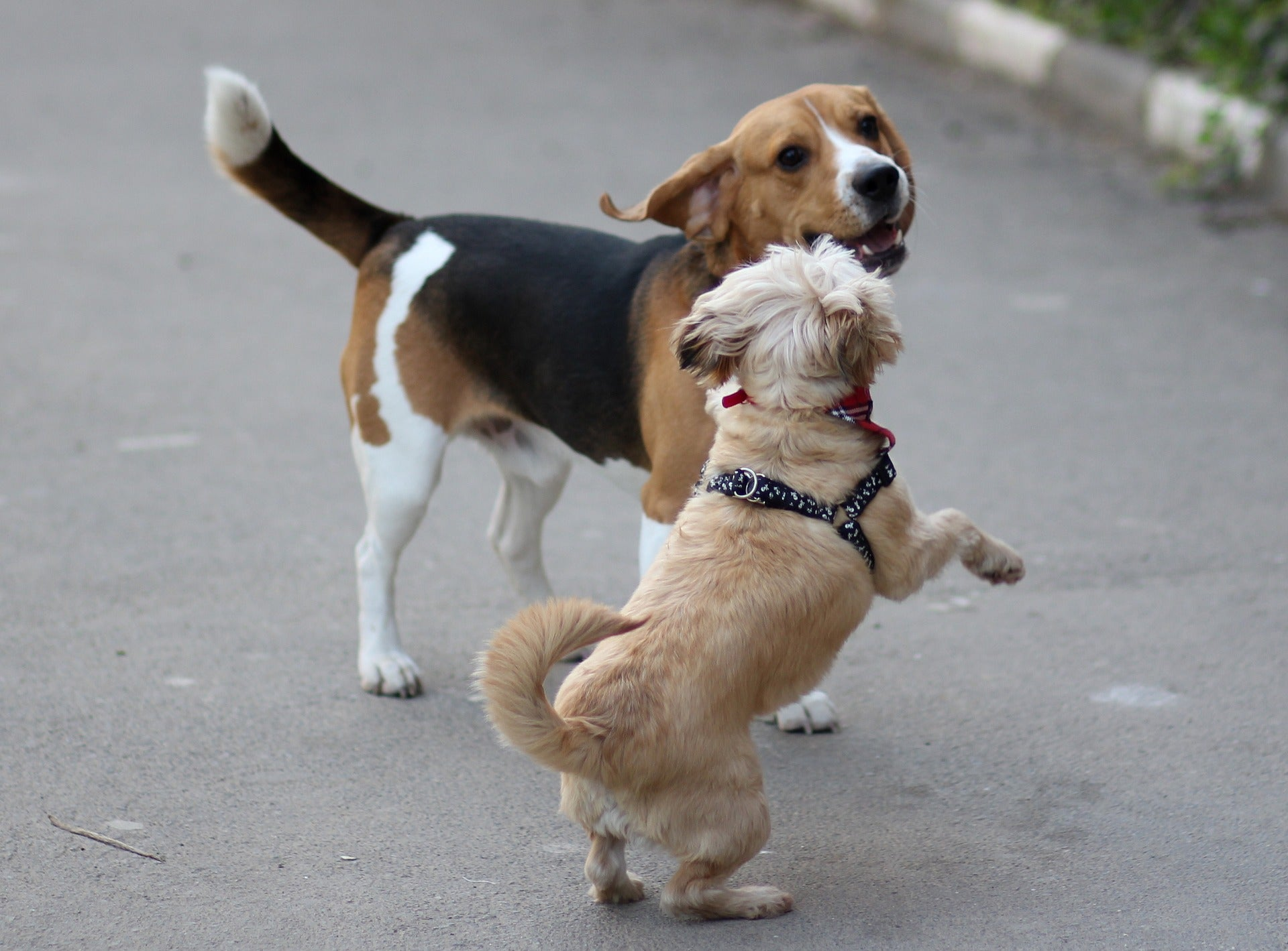 beagles and other dogs