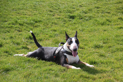 black and white mini bull terrier lying on a patch of grass