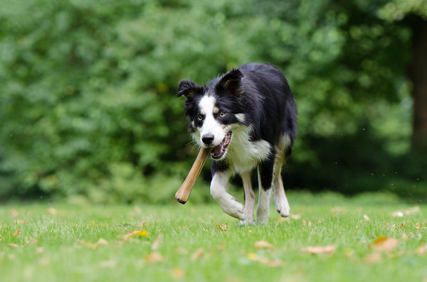 Border Collie found a bone