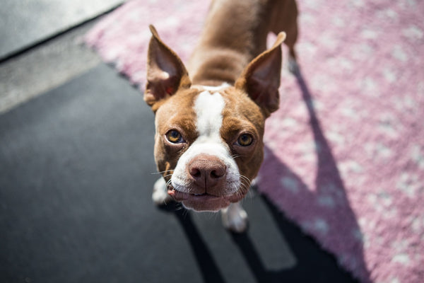 Boston Terrier looking up to camera at home