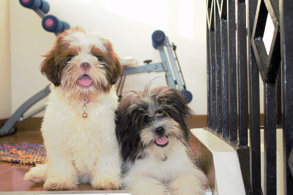 Two Lhasa Apso cuddling together at home