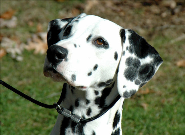 Dalmatian on training lesson