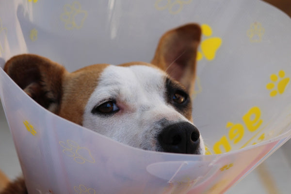 Dog with elizabethan collar