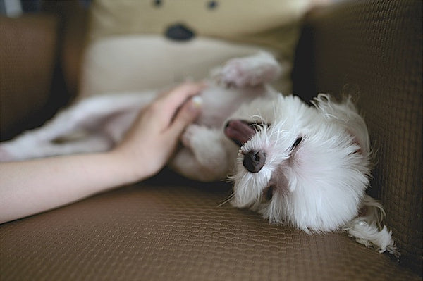 Rubbing Maltese puppy's belly