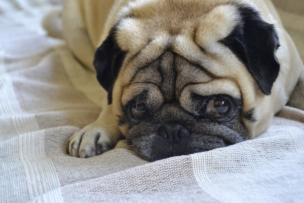 Pug laying with sad face