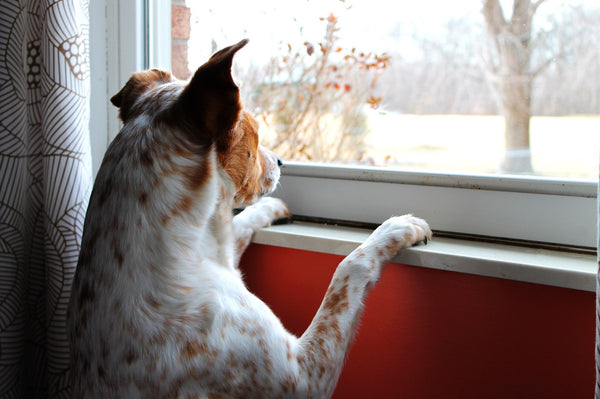 dog-looking-outside