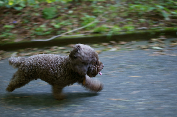 Toy Poodle running fast