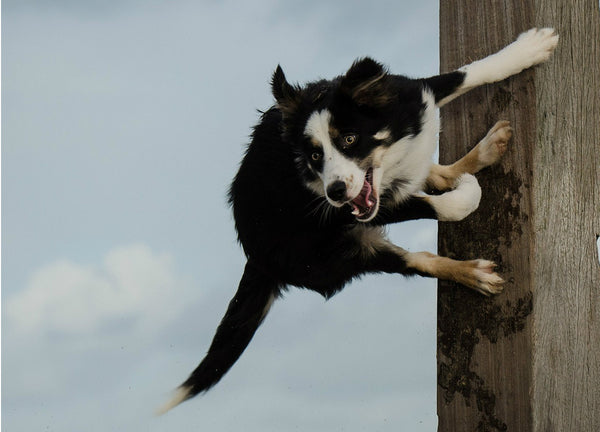 Dog jumping and looks really excited