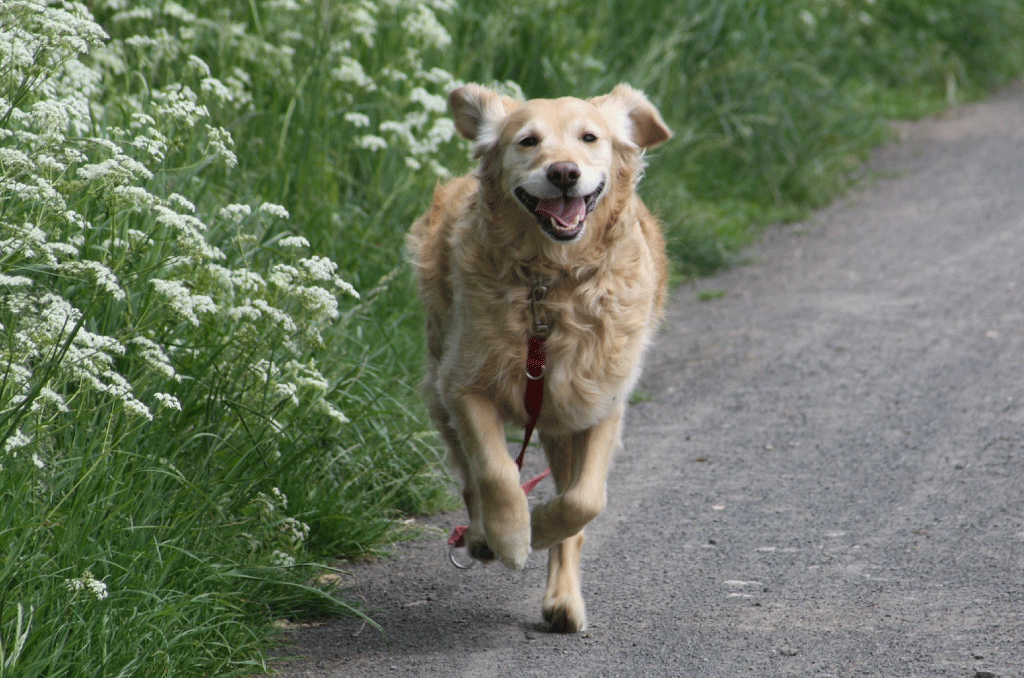 golden retriever-run
