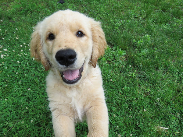 Golden Retriever Puppy smiling