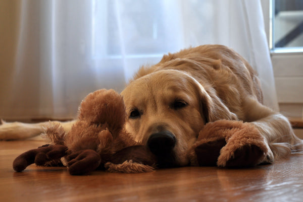 dog laying on the floor with his fluffy toy
