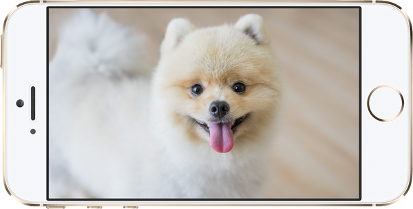 cute-pomeranian-on-iphone