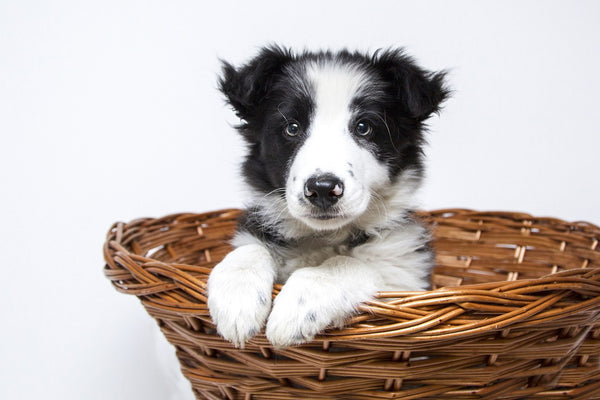 Border Collie puppy in the basket