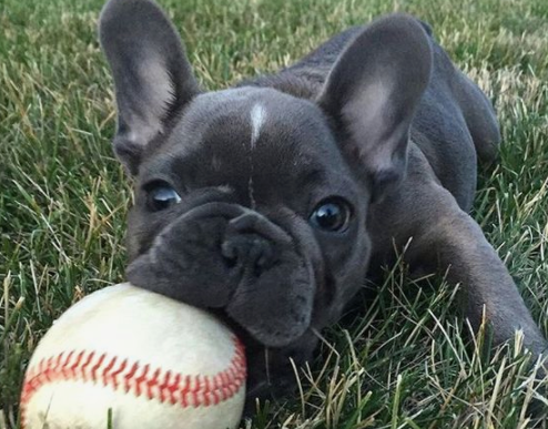 Celebrity French Bulldogs Part 1 - Athletes & Their Pups