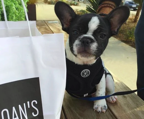 When Your French Bulldog Is A Fashionable Foodie