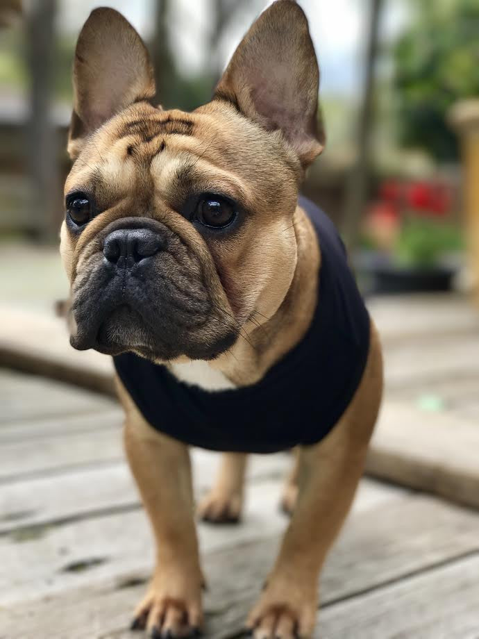 BOSSPUP of the week 4.3.17 - Frank the frenchie