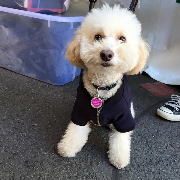 sweet poodle in bosspup zippy jacket
