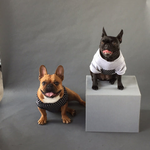 french bulldog photoshoot