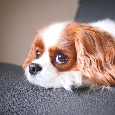 abbey bella cavalier 2