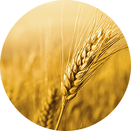 Wheat Zoomer- Gluten Sensitivity Test