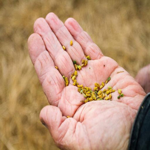 Organic Fenugreek - Kandarian Organic Farms