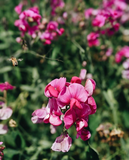 Lathyrus latifolius, Everlasting Sweet Pea Seed Packet