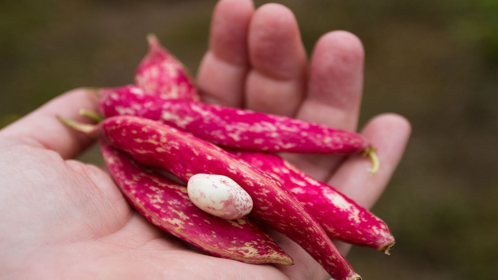 Speckled Cranberry Bean