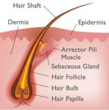 sebaceous (oil) gland diagram